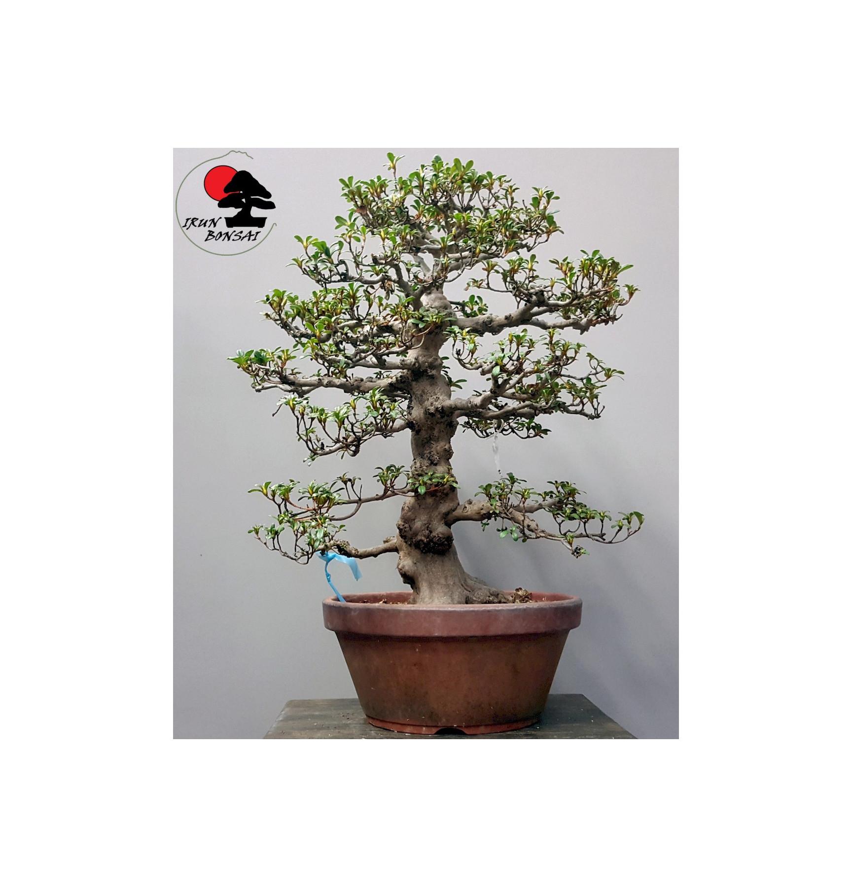 RHODODENDRON INDICUM ASAHINOHIKARI Nº24