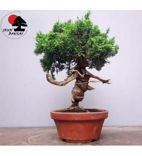 JUNIPERUS CHINENSIS ITOIGAWA Nº108A