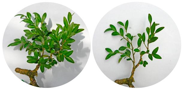 Boj semidefoliado