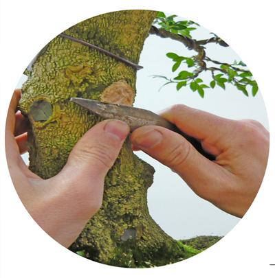 Cortando ramas al Boj