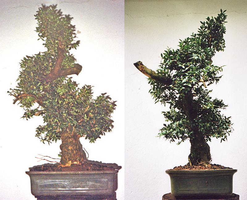 Preparación de un árbol para una exposición